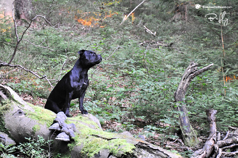 Buffy (Gretta Ambassador Sun) in primeval forest in Krkonoše