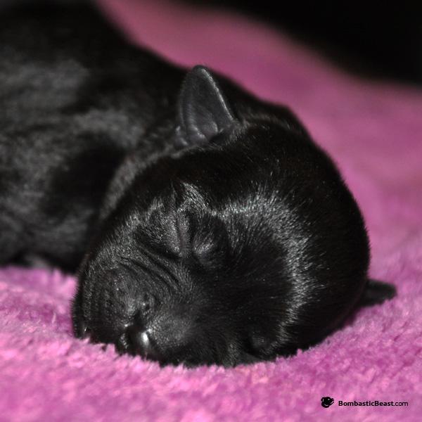 Cute baby GIRL - JCh, Club JCh, JWW Gretta Ambassador Sun♥UK Ch, Top Stafford Boy 2012 Kyraloebis Italian Gigalo