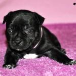 """Pink"" GIRL Bombastic Beast puppy"